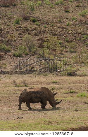 A rhino walking through grassland in Pilanesberg national park South Africa