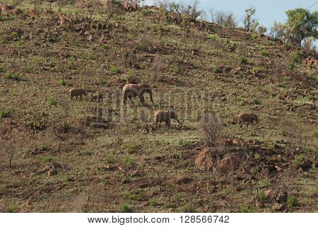 A herd of African elephants in Pilanesberg national park on a hill South Africa