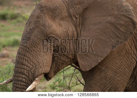 A close-up of an African elephant head in Pilanesberg national park in South Africa