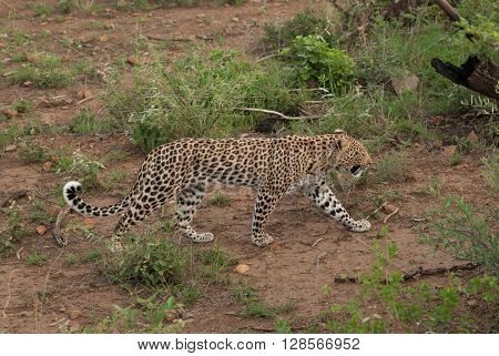 A leopard walking through bushes in Pilanesberg national park in South Africa