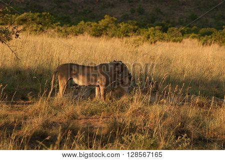 Lionesses in a grassland in Pilanesberg national park in South Africa