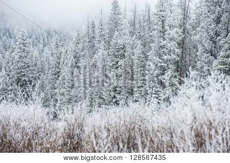 Beautiful winter scene landscape background with snow covered green trees in a wild park setting