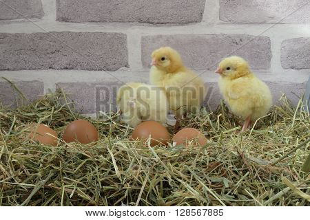 Three day old yellow chicks with remains of egg shell in a natural setting