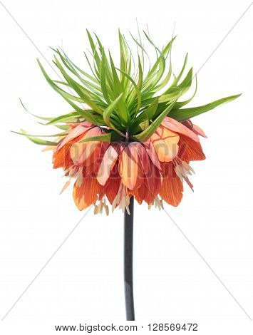 Crown imperial (Fritillaria imperialis) flower isolated on white background