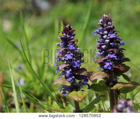 The flowers of Ajuga reptans, commonly known as bugle, bugleweed, or carpetweed. It is an herbaceous perennial plant native to Europe and is an invasive weed in parts of North America.