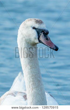 Close up of a swan with brown markings.