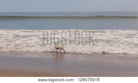 Jack Russell Terrier Searching A Ball In Pacific Ocean Waves