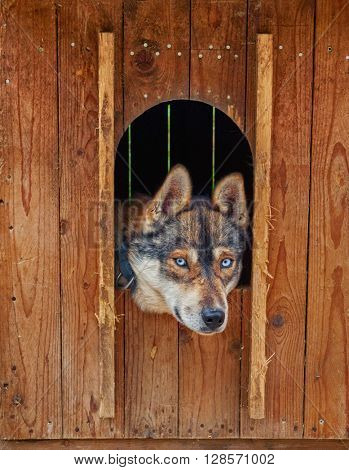 Sad and Deep Look of Husky dog locked in a wooden cage