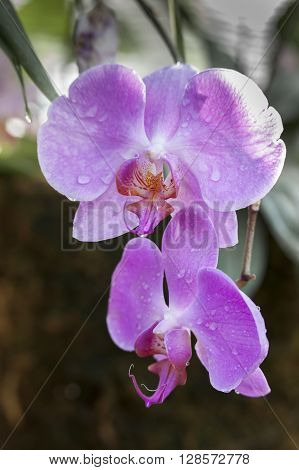 Beautiful pink orchids in the garden splashed with water drops.