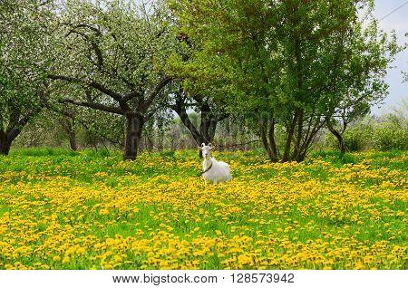 White goat is grazed among flowering dandelions in the apple garden