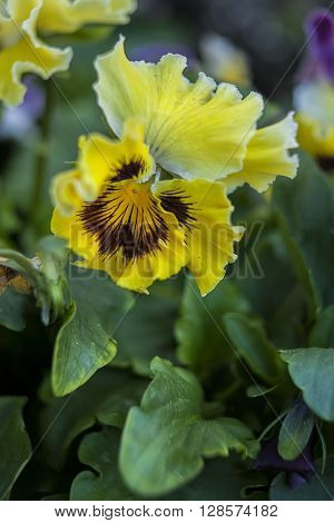 Close up of yellow pansies in the garden.