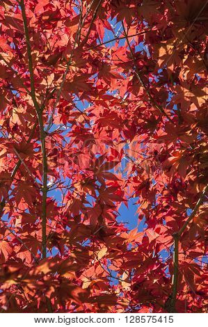 Red tree leaves with spots of sky.