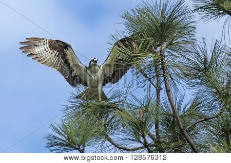 Osprey on branch with wings spread wide.