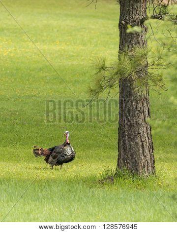 Sideview of a big turkey near Fernan Idaho.