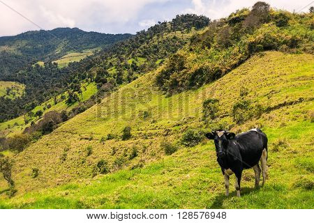 Single Cow Grazing In The Meadow Of The Andes Mountains