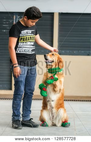 Banos De Agua Santa - 5 December, 2015: Golden Retriever Dressed In Elf Execute His Master Orders In Banos De Agua Santa On December 5, 2015