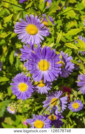 Close-up of beautiful tansy aster flowers in sunlight
