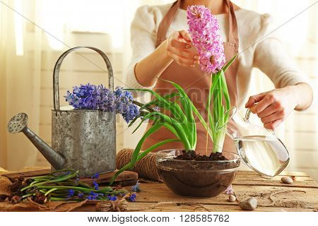 Woman watering hyacinth on the table