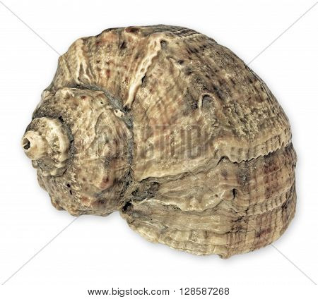 Sea snail with spiral isolated on white background