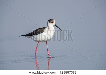 Black winged stilt in a pond in an oasis