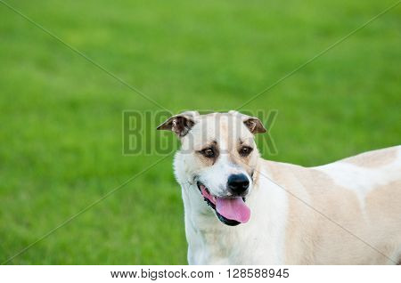 Large white and tan dog outdoors with floppy ears and tongue sticking out looking happy in green grass.