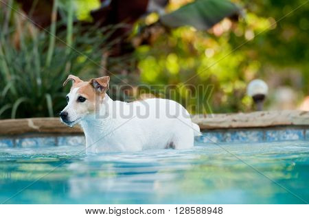 Adorable white terrier dog in a beautiful residential swimming pool.