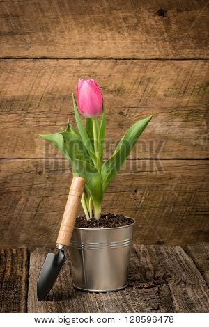 Pink tulip in a tin container on a worn barnboard background.
