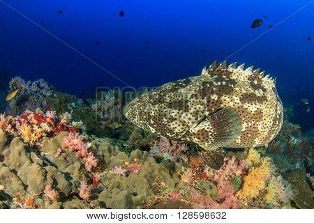 Brown Marbled Grouper fish on coral reef in ocean
