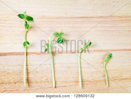 closeup the green pea sprout on wooden background