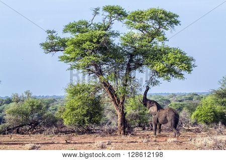 Specie Loxodonta africana family of Elephantidae, african bush elephants in Kruger park, walking in savannah