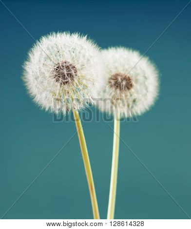 dandelion flower on green blue color background, many closeup object