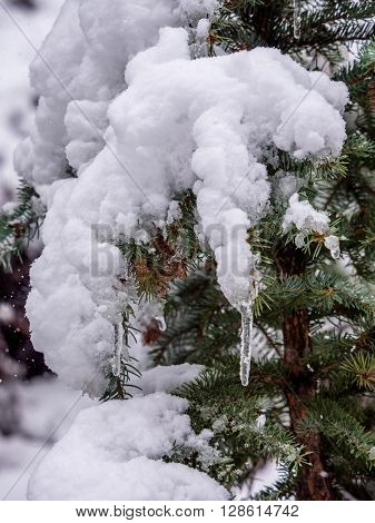Closeup of spnow laden evergreen branch with icicles