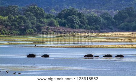 Specie Hippopotamus amphibius family of Hippopotamidae, group of hippos in the river in Kruger park
