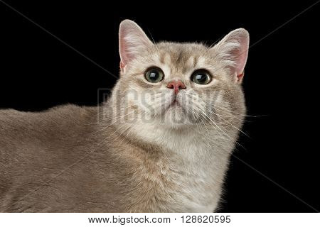 Closeup head of Curious British Cat with green eyes Looking up isolated on Black Background