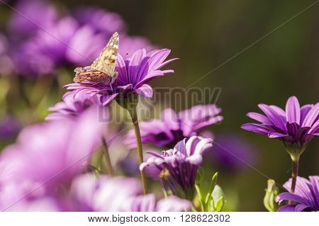 Butterfly sucking nectar from Purple Sunflowers Dimorphotheca
