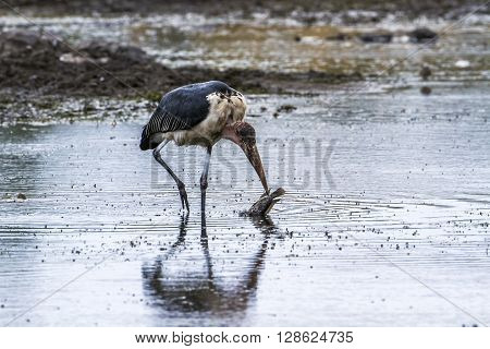 Specie Leptoptilos crumenifer family of Ciconiidae, marabou storks in a riverbank in Kruger Park