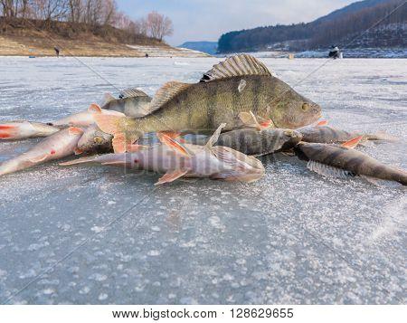 Winter fishing. Fish on ice. Freshly caught fish on ice. ice Fishing