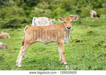Beautiful little calf in green grass. Beautiful little calf