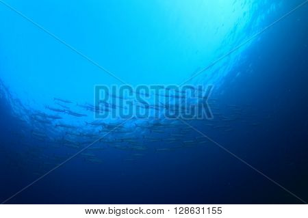 Blue ocean background with barracuda fish