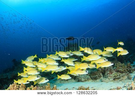 Coral reef with school of snappers fish