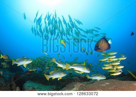 Coral reef and fish: Snappers, Oriental Sweetlips and Blue-ringed Angelfish