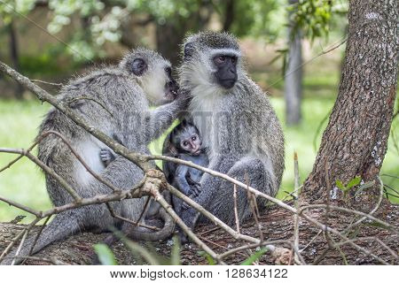 Specie Chlorocebus pygerythrus family of Cercopithecidae, family of vervet monkey in Kruger park, South Africa ** Note: Soft Focus at 100%, best at smaller sizes