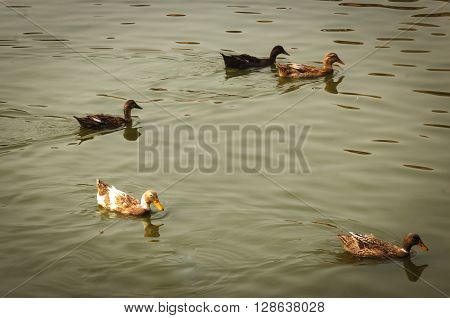 Ducks are following their own friends to achieve the common goals.