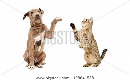 Playful pit bull puppy and a cat Scottish Straight isolated on white background