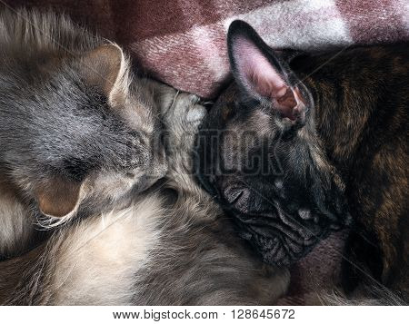 Dog and cat sleeping together. Snouts large animals. Dog and cat sleeping on the plaid. Love, friendship cats and dogs. Cat furry breed - Siberian. Dog black French bulldog
