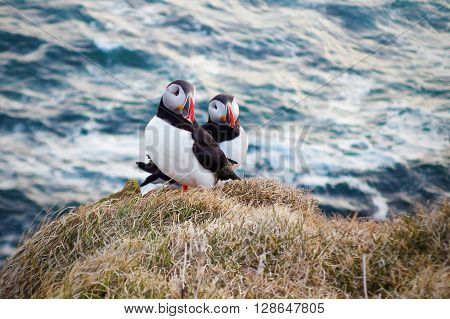 A lovely couple of Atlantic Puffins poses on the edge of a cliff in the Latrabjarg peninsula, in the remote West Fjords of Iceland.
