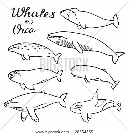 Whales and orca set. Hand-drawn cartoon collection of sea mammals - killer, sperm, blue, humpback, grey, fin, bowhead whales and cachalot. Doodle drawing. Vector illustration