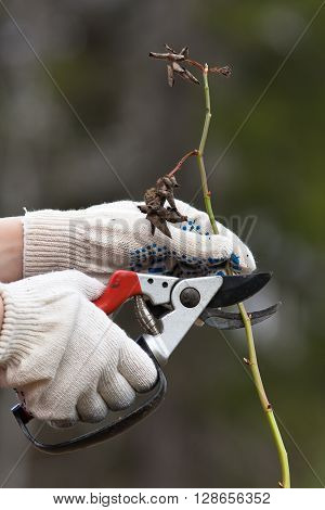 hands in gloves pruning rose with secateurs in the garden