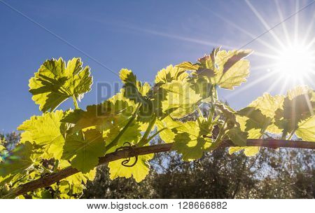 grape vine back lit by late afternoon sun with lens flare in the Andalusia countryside.