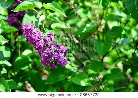 Lilac flowers blooming on lilac tree branch in early springtime